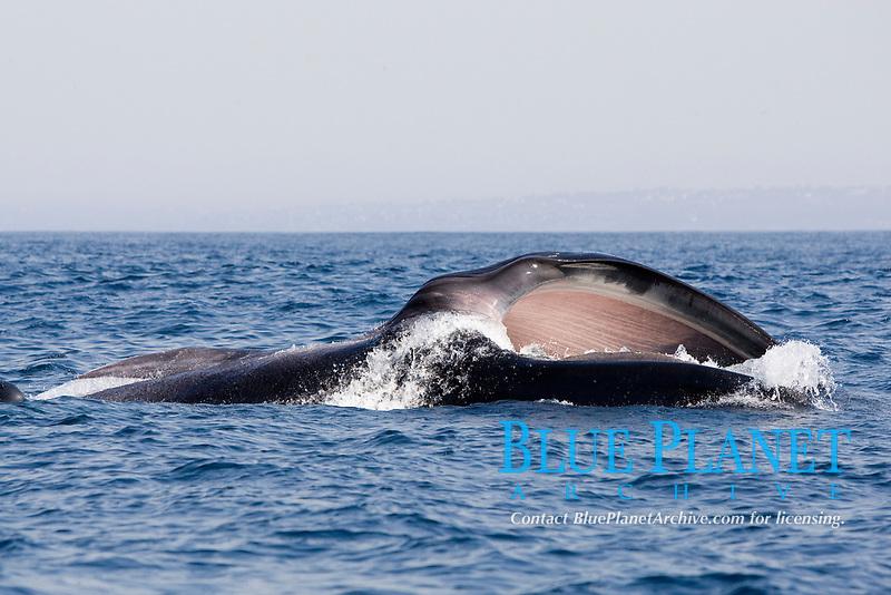 fin whale, Balaenoptera physalus, surface feeding on krill, Los Coronados islands, baja california, mexico, pacific ocean
