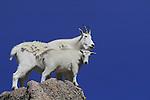 Mountain Goat nanny (Oreamnos americanus) and kid goat on the slopes of Mount Evans (14250 feet), Rocky Mountains, west of Denver, Colorado, USA Wildlife  photo tours to Mt Evans. .  John leads private, wildlife photo tours throughout Colorado. Year-round.
