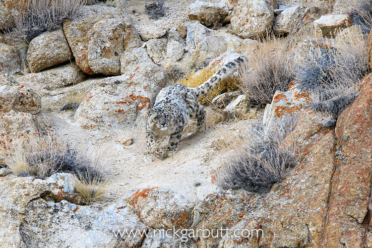 Female snow leopard (Panthera uncia)(sometimes Uncia uncia) stalking prey over broken rocky terrain. Ladakh Range, Western Himalayas, Ladakh, India.