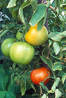 Tomato Big Boy hybrid, showing various stages of vegetable ripeness, from green tomatoes to yellow to ripe red . Famous hybrid tomato developed by Dr. Oved Shifriss, a plant breeder and geneticist,who developed the famous hybrid for the Burpee seed company -- W. Atlee Burpee & Co. -- in 1949