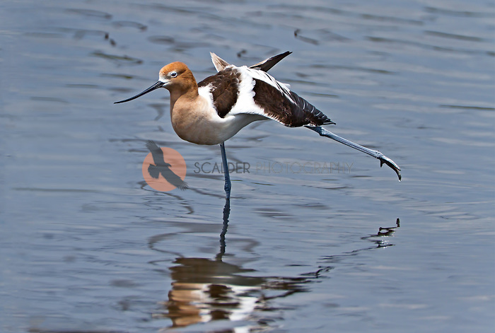 American Avocet in breeding colors, standing in water, stretching a leg and a wing