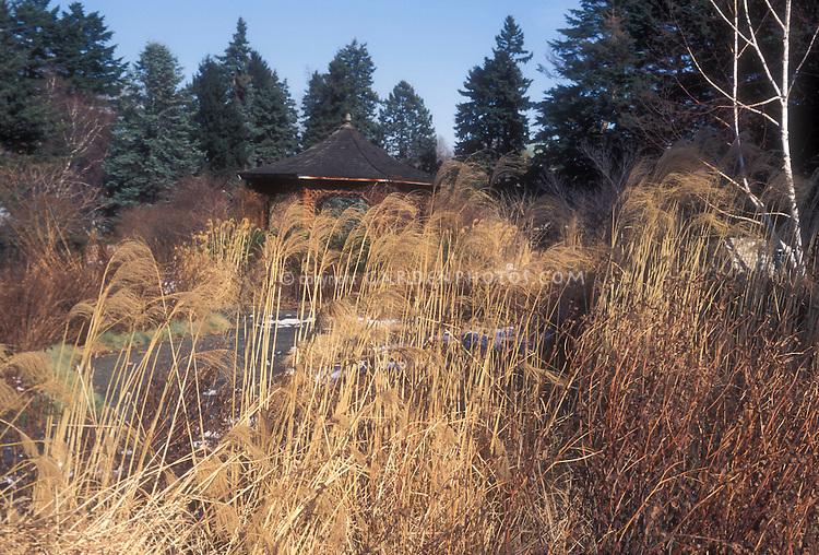 Miscanthus sinensis 'Morning Light' in winter garden seedheads ornamental grass