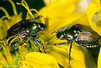 1C13-010b  Japanese Beetle - Popillia japonica