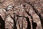 Tidal Basin Cherry Blossom Washington DC, Politics in the United States, Presidential, Federal Republic, united States Congress, Fine Art Photography by Ron Bennett, Fine Art, Fine Art photo, Art Photography,
