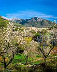 Spanien, Balearen, Mallorca, Mandelbluete bei Selva | Spain, Balearic Islands, Mallorca, Almond blossom near Selva
