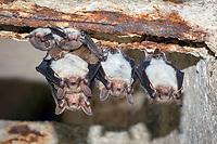 Greater mouse-eared bats (Myotis myotis), Brandenburg, Giant bat, Germany, Europe