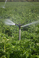 Potatoes being irrigated with a sprinkler system - August; Lincolnshire