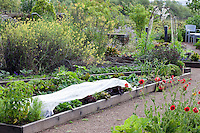White fabric row cover protecting lettuce crop in organic vegetable and herb garden