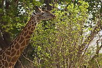 Giraffe browsing from top of tree in the South Luangwa Valley, Zambia Africa.