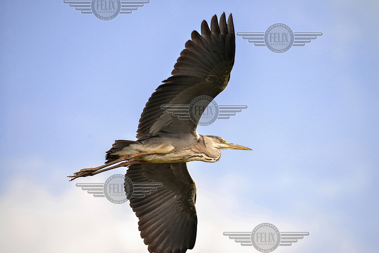 A grey heron flys over a wetlands area at the base of Yangmingshan mountain/volcano.