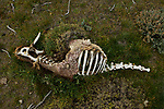 Guanaco (Lama guanicoe) killed by Mountain Lion (Puma concolor), Torres del Paine National Park, Patagonia, Chile