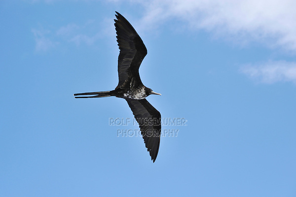 Great Frigatebird (Fregata minor), female in flight, Seymour Norte Island, Galapagos Islands, Ecuador, South America