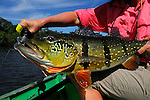 Spotted Peacock Bass on the fly 10 pound fish