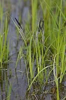 Schlank-Segge, Schlanksegge, Spitzsegge, Spitz-Segge, Segge, Carex acuta, Syn. Carex gracilis, Acute Sedge, Slender Tufted-sedge, Slender-Tufted sedge, Slim Sedge