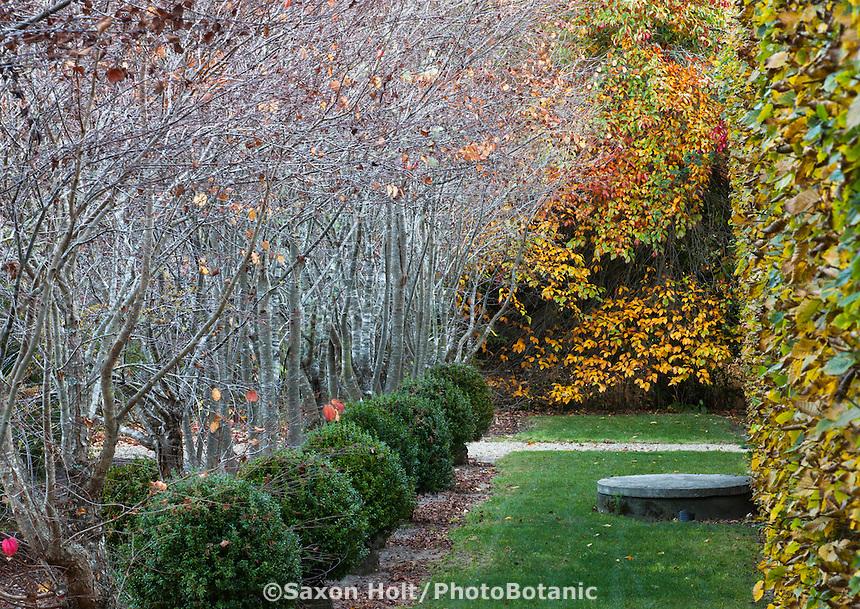 Lawn walkway between well pruned Hornbeam hedge (Carpinus), toward Tupelo tree fall foliage (Nyssa), with row (allée) of Katsura bare trees (Cercidyphyllum), and 'Green Beauty' boxwood bushes at Digging Dog Nursery