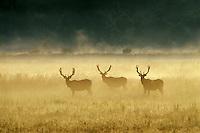 Roosevelt Elk Bulls.Paciic NW.