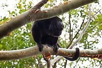 Yucatan Black Howler, El Remate, Peten, Guatemala