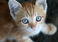 Stock image of cute little golden brown kitten looking above.