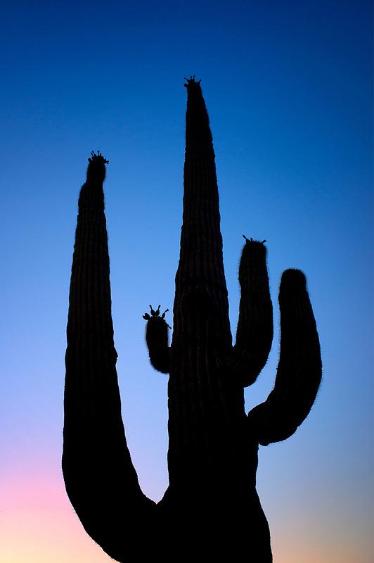 Cactus garden at sunrise. Sonoran Desert, Arizona