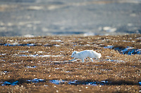 Arctic fox hunts for rodents on the arctic tundra, Alaska.