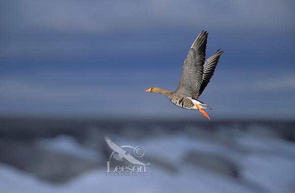 White-Fronted Goose in flight. Summer. Arctic National Wildlife Refuge, Alaska. U.S.A. (Anser albifrons).