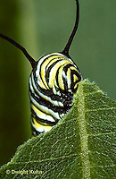 MO02-012z  Monarch Butterfly - caterpillar on milkweed eating - Danaus plexippus