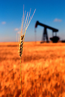A stalk of wheat grows in a field with an oil derrick in the background. Concept - two major economic products of the American plain. Kansas.