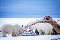 polar bear, Ursus maritimus, mother with cubs scavenging on whale carcass on the pack ice of the frozen coastal plain, 1002 area of the Arctic National Wildlife Refuge, Alaska, polar bear, Ursus maritimus