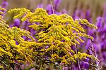 Sweet goldenrod close-up single plant