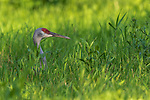 Sandhill crane resting in the shade of a northern Wisconsin meadow.