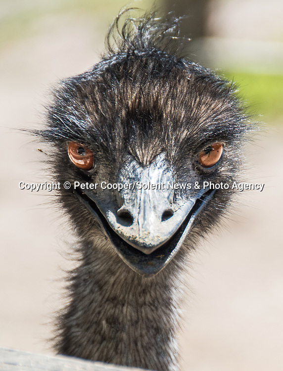 """Nice to meet-emu!  An inquisitive emu shares a smile with a photographer on a birght sunny day.  Software engineer, Peter Cooper, 34, managed to capture this emu 'smiling' at him, at Maru Koala and Animal Park, near Melbourne, Australia, in a thinly veiled attempt to get the food he was holding. <br /> <br /> Peter said """"They seem like quite curious creatures. They came up and investigated everyone who came near their enclosure, prowling up and down the fence over and over"""".""""It was probably smiling about the fact it had seen food was on the way, if anything.  This one saw I had some and stalked towards me like something out of Jurassic Park!"""" <br /> <br /> Please byline: Peter Cooper/Solent News<br /> <br /> © Peter Cooper/Solent News & Photo Agency<br /> UK +44 (0) 2380 458800"""