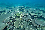 Rakeedhoo Island, Felidhoo Atoll, Maldives; a large number of plate corals (Acropora sp.) cover the ocean floor in shallow water