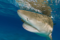 lemon shark, Negaprion brevirostris, with open jaw, showing Ampullae of Lorenzini, nostrils, eye, and teeth, Grand Bahama, Bahamas, Atlantic Ocean