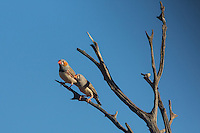 Zebra Finches at Neale Junction Nature Reserve in Western Australia