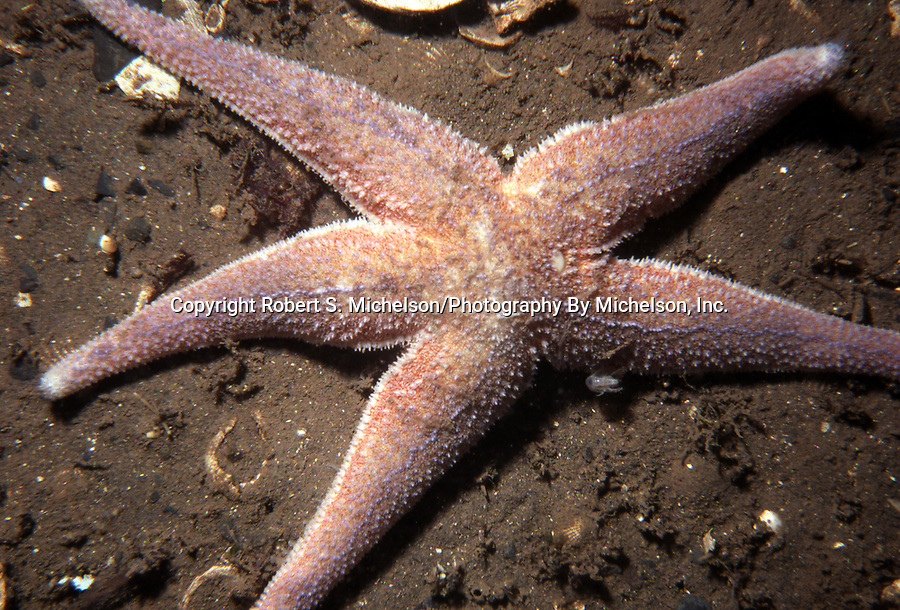 Northern sea star on sand habitat