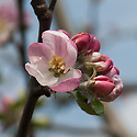 """Blossom of Apple 'Hambledon Deux Ans', late April. An old English culinary apple from Hambledon in Hampshire, about 1750. """"In c19th reputedly every Hants garden had tree of 'Deusans'. Also grown countrywide in gardens; for market in Kent and favourite with Sheffield fruiterers. Still found in old Hants, Sussex gardens."""" ('The New Book of Apples' by Joan Morgan and Alison Richards)"""