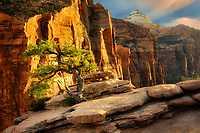 Pine tree at sunset. Canyon Overlook. Zion National Park, Utah