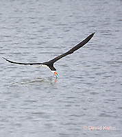 0908-0910  Black Skimmer Flying Foraging for Food (Fish), Skimming Surface of Water for Fish with Lower Mandible, Rynchops niger © David Kuhn/Dwight Kuhn Photography