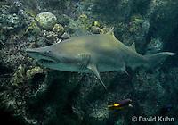0128-08uu  Sand Tiger Shark, Carcharias taurus © David Kuhn/Dwight Kuhn Photography