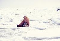 walrus, Odobenus rosmarus, female with spring calf, on the pack ice of the Bering sea in Alaska, Arctic