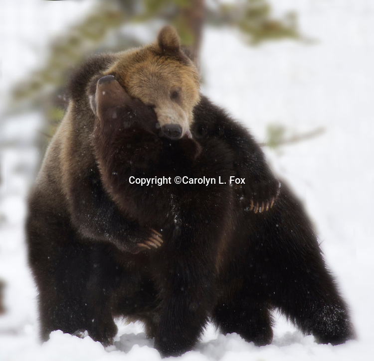 Two grizzly bears seem to be hugging each other.