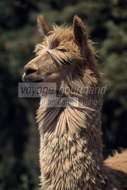 Amérique/Amérique du Sud/Pérou/Arequipa : Lama brun