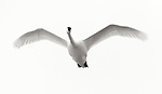 Tundra Swan (Cygnus columbianus) flying, Tule Lake National Wildlife Refuge, California