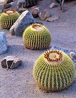 Barrel cactus. Balboa Park Gardens, San Diego, California.