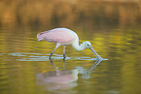 Roseate Spoonbill (Ajaia ajaja) - Juvenile wading in a lagoon with green reflections of vegetation on the water