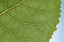 Hybrid Black Poplar {Populus x canadensis} leaf detail showing veination. Cambridgeshire, UK. September.