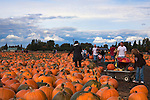 Families love to shop at the Carpninoto Brothers pumpking patch, an institution in Kent, WA.