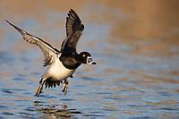 Ring-necked Duck (Aythya collaris), male taking flight from Papago Ponds, Papago Park, Phoenix, Arizona.