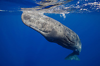 A sperm whale (Physeter macrocephalus) in Dominica.