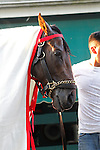 May 17, 2013, morning activities at Pimlico on Friday before the Preakness. Preakness contender Orb is dried off after his post-gallop bath at Pimlico Race Course in Baltimore, MD. (Joan Fairman Kanes/Eclipse Sportswire)